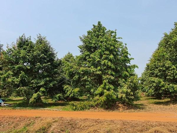 กรมส่งเสริมการเกษตรแนะวิธีดูแลรักษาต้นไม้ผลให้ผ่านพ้นช่วงฤดูแล้ง