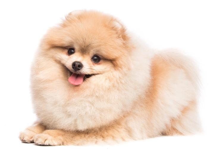 อยากเลี้ยงหมาปอม? 8 เรื่องควรรู้เกี่ยวกับสุนัขปอมเมอเรเนียน | RYT9